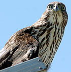 A young hawk keeps watch from atop a solar collector at the Lyle Center for Regenerative Studies at Cal Poly Pomona.