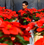 Luther Manzano puts together poinsettia displays in one of the greenhouses of the horticulture unit at Cal Poly Pomona. The poinsettias can be purchased at the Farm Store at Kellogg Ranch.