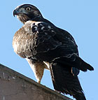 A young hawk rests on a ledge of the CLA building at Cal Poly Pomona.