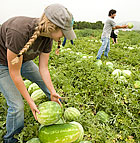 Brittany Moreland stacks watermelons as other students pass them during watermelon harvesting at a Cal Poly Pomona field near Lanterman State Hospital in Pomona.