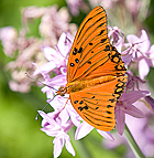 A butterfly browses on a bloom at the Lyle Center for Regenerative Studies at Cal Poly Pomona.