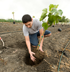 Julian Ramos, a junior plant science major, plants a fig tree in the Collins College Culinary Garden at Cal Poly Pomona.