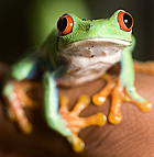 A red-eyed tree frog at the BioTrek Rainforest at Cal Poly Pomona.