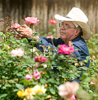 Raymond Aguilera looks over roses growing in the Weeks Roses greenhouses at Cal Poly Pomona.