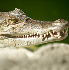 A caiman keeps watch from his cage at the Rainbird BioTrek Rainforest at Cal Poly Pomona.