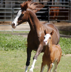 Tug, a two-week-old Arabian colt, frolics in a Cal Poly Pomona corral with his mother, Aurora.