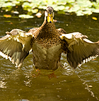 A duck stretches its wings in the pond at the Aratani Japanese Garden at Cal Poly Pomona.