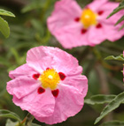 A rock rose blooms near the Rose Garden at Cal Poly Pomona.