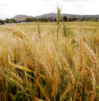Wheat grows in the field near the Farm Store at Kellogg Ranch at Cal Poly Pomona.