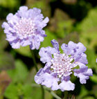Pincushion flower or Scabiosa bloom in the sun in the Cal Poly Pomona Rose Garden.