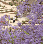 A student is framed by the blooms of a jacaranda tree as she walks through the Rose Garden at Cal Poly Pomona.