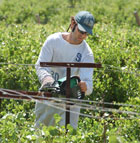 Cristan Falco, a Horticulture major at Cal Poly Pomona, trims grape root stock at the vineyards near AGRIscapes.