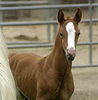 Oscar, a new Arabian colt, frolics near his mother, Early Promise, in a Cal Poly Pomona corral.