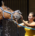 Allyson Hemingway, a second year Animal Science major, washes Cyclone, a four-year-old Arabian at the Arabian Horse Center at Cal Poly Pomona.