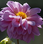 A pink dahlia blooms in the Horticulture Unit at Cal Poly Pomona.
