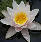 A water lilly blooms in the Japanese Garden pond.