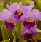 A cattleya RBX 128 orchid blooms in a Horticulture Unit green house at Cal Poly Pomona.