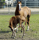A foal scratches an itch under the watchful eye of its mother at the Arabian Horse Center at Cal Poly Pomona.