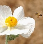 A pair of honey bees head for a Mojave Prickly Poppy blossom at the Rainbird Ethnobotany Learning Center at Cal Poly Pomona.