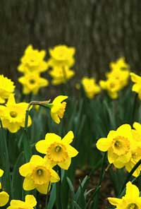 Help Fight Cancer, Participate in Daffodil Days