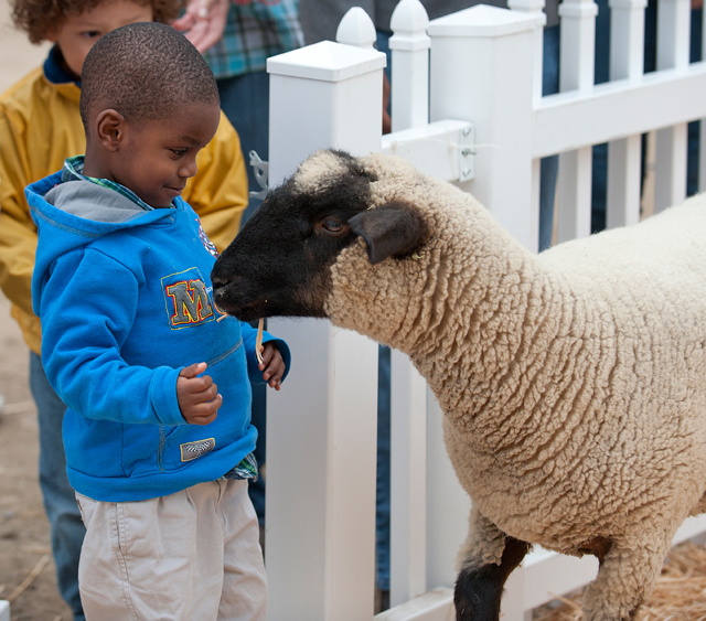 A youngster comes face to face with a sheep at Danny's Farm petting zoo at Cal Poly Pomona October 25, 2011.