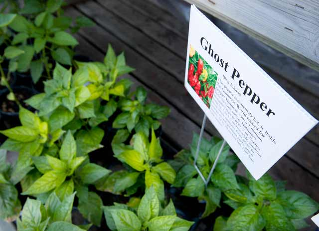 Scorching Summer Peppers Ready for Planting