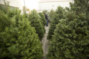 The Farm Store carries four types of trees -- Noble fir, Douglas fir, Grand fir and Scottish pine.