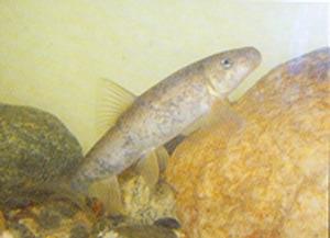 Santa Ana sucker fish