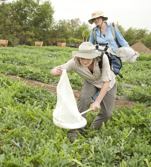 Alissa Luken, a senior zoology student, tries to catch a bee in a watermelon field at Tanaka Farms in Irvine.