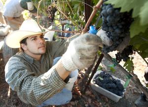Bumper Crop for Horsehill Vineyards