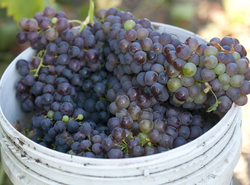 A bucket of freshly picked zinfandel grapes at the Horsehill Vineyard on September 3, 2010.