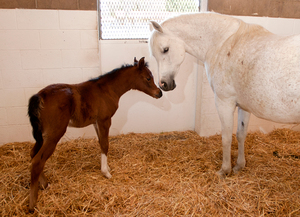 Spring Brings New Foals to Arabian Horse Center