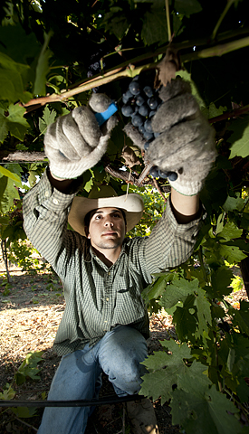 Jonathan Allred, a sophomore plant science major, picks zinfandel grapes at the Horsehill Vineyard.