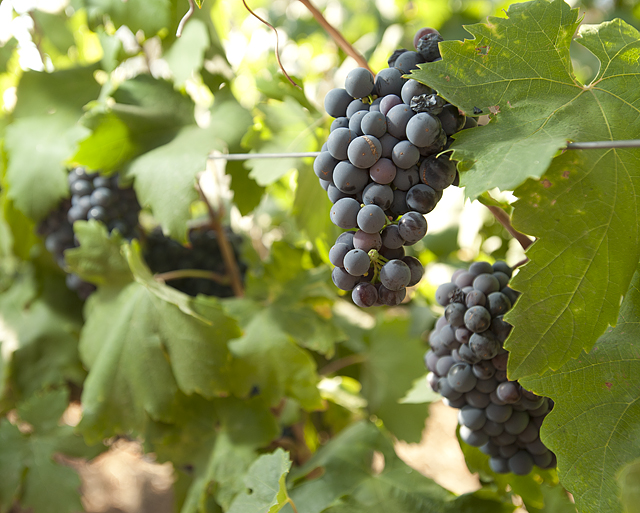 Zinfandel grapes ripen in a vineyard on Horse Hill at Cal Poly Pomona.