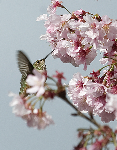 A hummingbird visits the blooms of a flowering cherry tree in the Aratani Japanese Garden at Cal Poly Pomona
