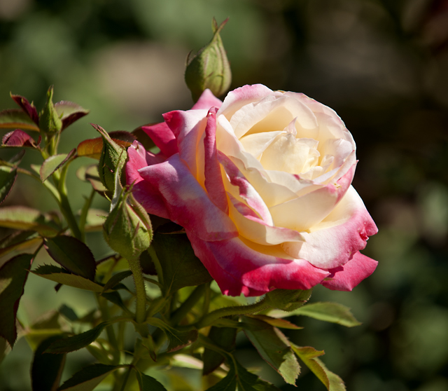 French Perfume Rose.jpg