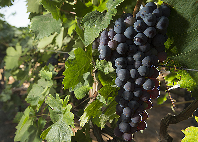 Grapes Horse Hill Vineyard3.jpg