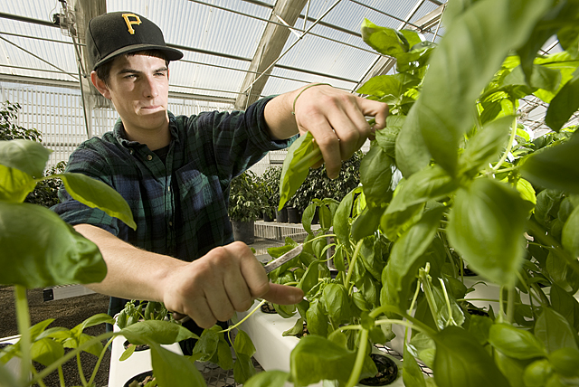 Kirk Weatherton, a plant science senior,  harvests hydroponic basil at the Agriscapes greenhouses at Cal Poly Pomona.