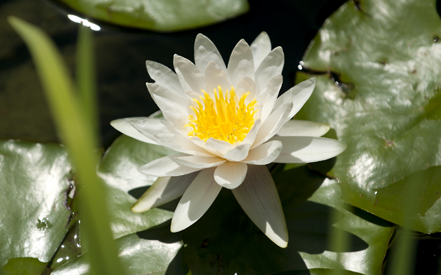 J Garden water lilly.jpg
