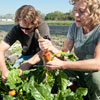 Students in the field picking vegetables