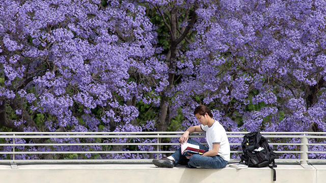 Student studies with a blooming jacaranda tree as a backdrop.