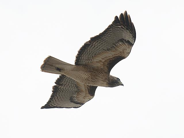 A hawk flies over the Arabian Horse Center at Cal Poly Pomona February 11, 2014.