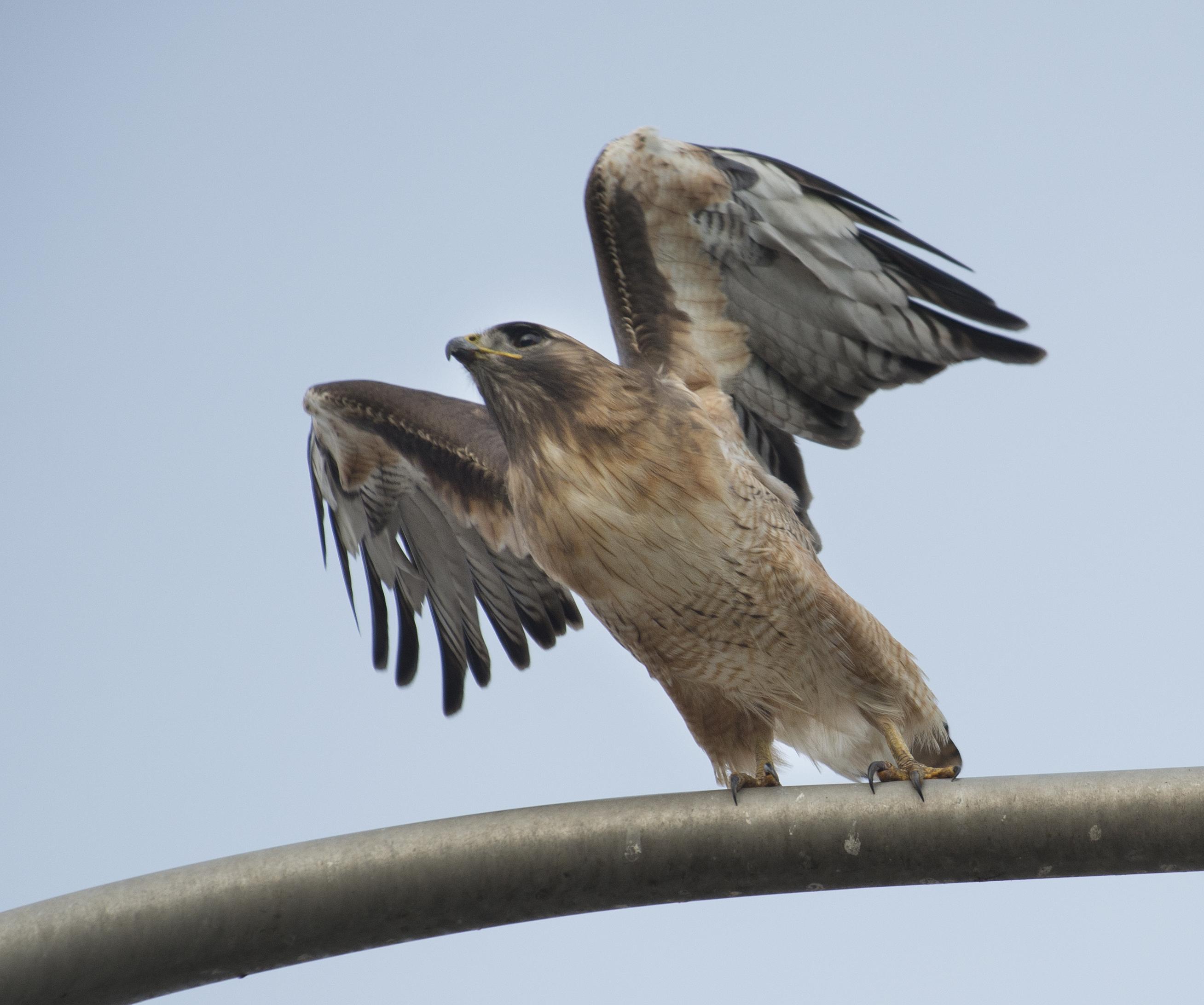 Hawk Takes Flight