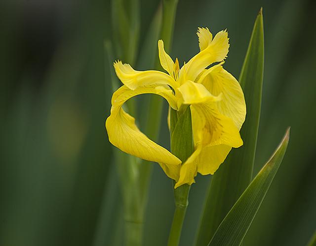 An iris blooms in the Aratani Japanese Garden at Cal Poly Pomona.