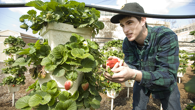 A student harvests hydroponically-grown strawberries in this file photo at AGRIscapes, site of the College of Agriculture's 75th Anniversary celebration on Saturday, May 3.