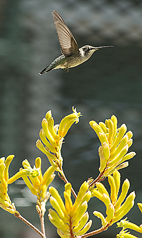 A hummingbird takes flight over flowers near the Campus Center Marketplace at Cal Poly Pomona.