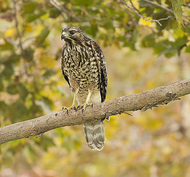 A hawk rests on a tree in the Engineering Meadow at Cal Poly Pomona.