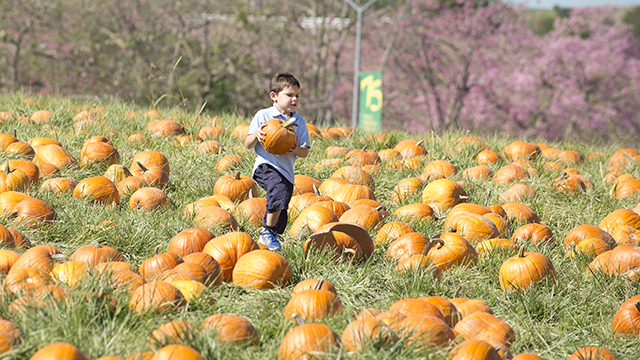 Steel Sturgeon carries his pumpkin through the patch during the 2013 Cal Poly Pomona Pumpkin Festival.