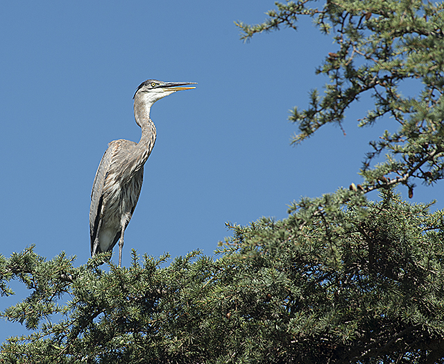 A Great Blue Heron stands in a tree overlooking the Aratani Japanese Garden at Cal Poly Pomona.