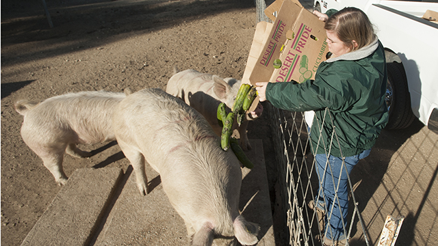 Agricultural science senior Kelsey Swayze feeds pigs donated produce at the Swine Unit at Cal Poly Pomona.